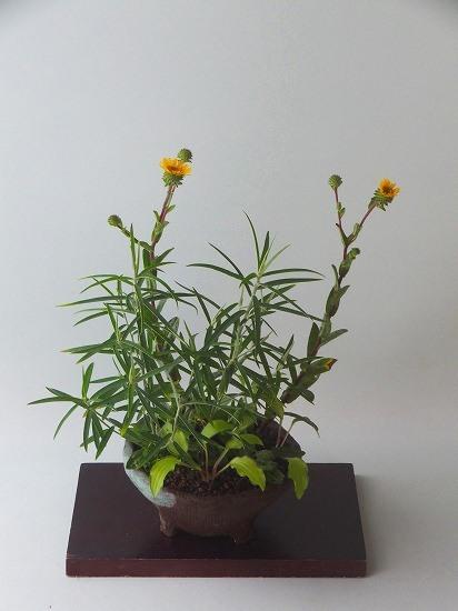 尾瀬の水菊H27年8月