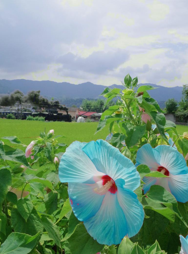 150816blue-hawai.jpg