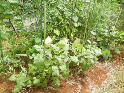 雨上がりの野菜畑