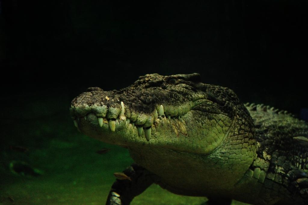 イリエワニ Crocodylus porosus