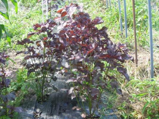 赤紫蘇の収獲 無農薬有機栽培 H2707