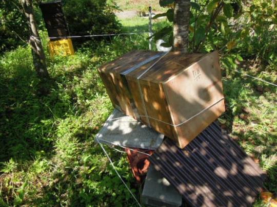 日本蜜蜂 熊被害 H2708