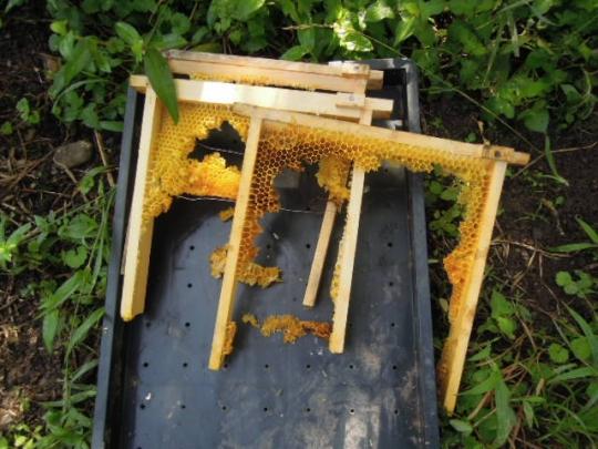 日本蜜蜂 熊被害2 H2708