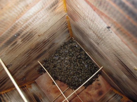 日本蜜蜂 熊被害 逃亡群 H2708
