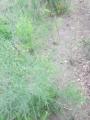 アスパラ草とり1