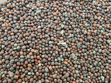 本年度の城南小松菜種子