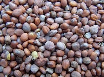 今年度の伝統大蔵大根種子