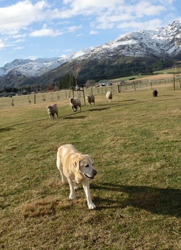 羊の国のラブラドール絵日記シニア!!「CとY」写真1