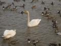 鴨と白鳥1