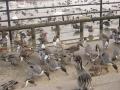 鴨と白鳥2