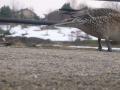 鴨と白鳥3