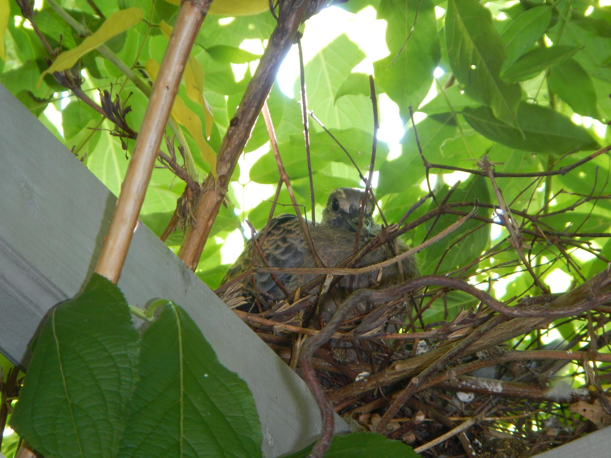 キジバト巣と雛