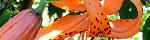 lilium_lancifolium.jpg