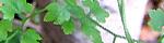lygonium_japonicum.jpg