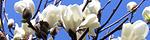 magnolia_heptapeta.jpg