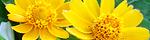 melampodium_paludosum.jpg