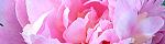 paeonia_lactiflora.jpg