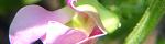 phaseolus_vulgaris.jpg