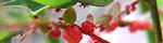 phyllanthus_urinaria.jpg