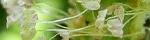 plantago_asiatica.jpg