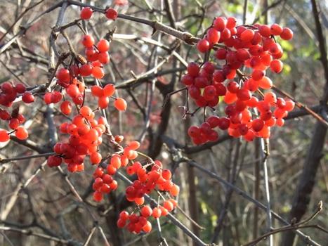 「北本自然観察公園 12月の果実(2)」
