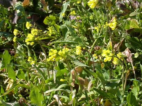 「アブラナ ~川島の土手で花」