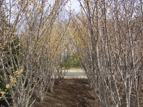 「きれぎれの風彩 「大宮花の丘農林公苑:マンサク」