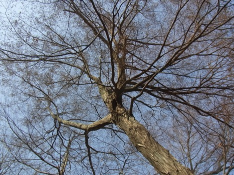 「イヌシデ ~冬の樹形と虫こぶ(1)」