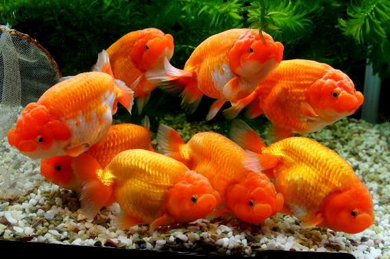 Die besten 25 goldfische im aquarium ideen auf pinterest for Koi und goldfische