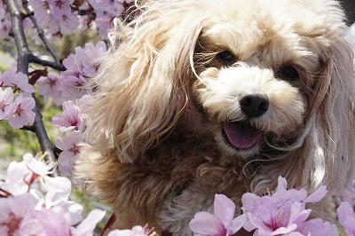 桜とイヴと笑顔