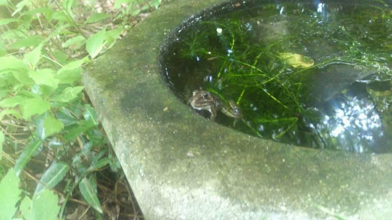 manisfrog