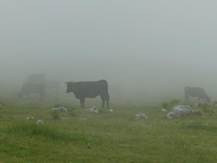 霧の中の牛たち 2