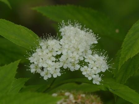 松山総合公園 白花のシモツケ