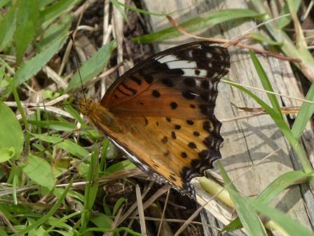 トンボ自然公園 ツマグロヒョウモン