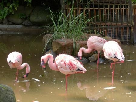 愛媛県立どべ動物園 チリーフラミンゴ