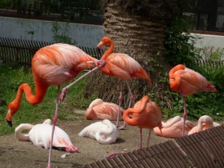 愛媛県立どべ動物園 キューバフラミンゴ