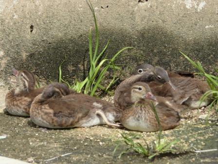 愛媛県立どべ動物園 オシドリの幼鳥