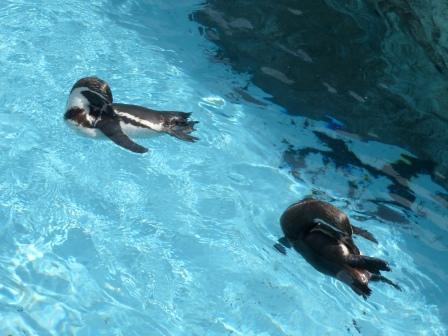 愛媛県立どべ動物園 フンボルトペンギン 3