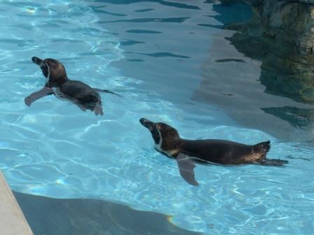 愛媛県立どべ動物園 フンボルトペンギン 2