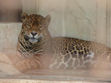愛媛県立どべ動物園 ジャガー 1