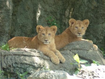 愛媛県立どべ動物園 ライオン 2