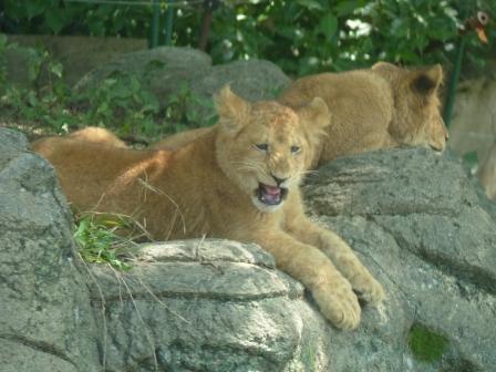 愛媛県立どべ動物園 ライオン 3