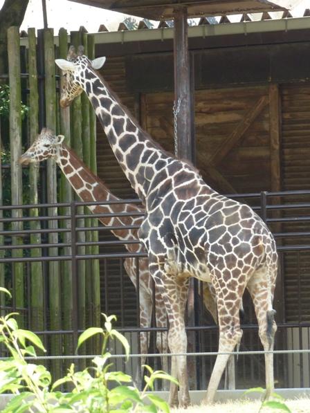 愛媛県立どべ動物園 キリン 1