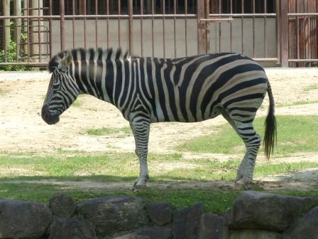 愛媛県立どべ動物園 チャップマンシマウマ