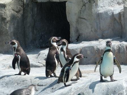 愛媛県立どべ動物園 フンボルトペンギン 1