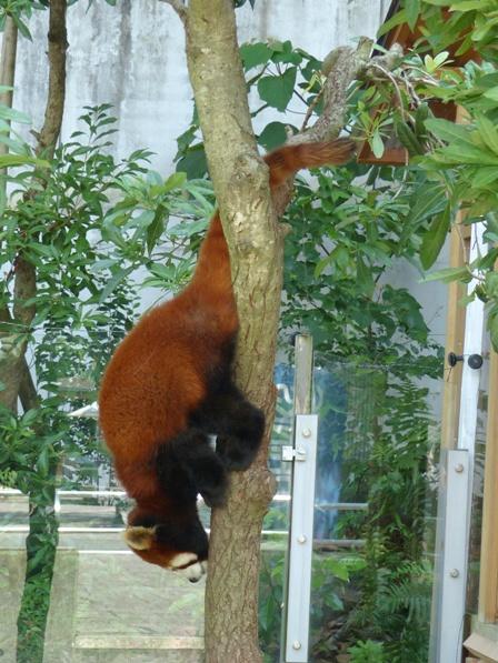 愛媛県立どべ動物園 レッサーパンダ 2