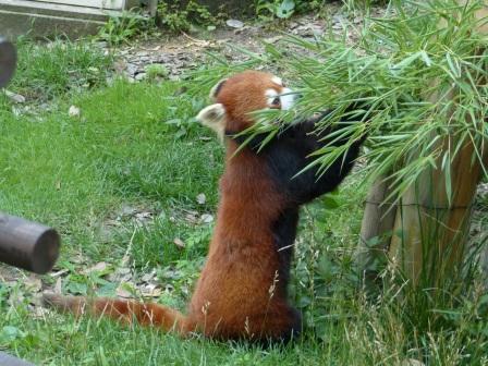 愛媛県立どべ動物園 レッサーパンダ 3