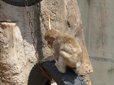 愛媛県立どべ動物園 ニホンザル 5