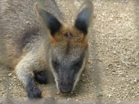 愛媛県立どべ動物園 オグロワラビー