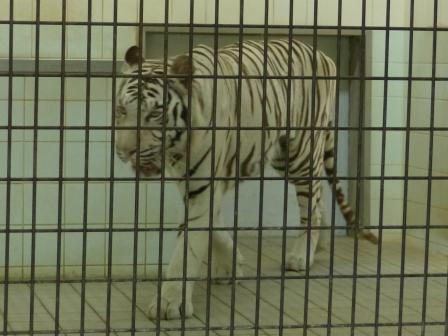 愛媛県立どべ動物園 ホワイトタイガー